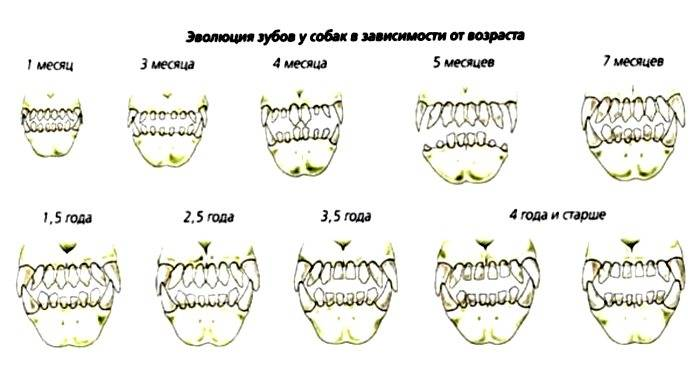 Как определить молочный зуб от коренного
