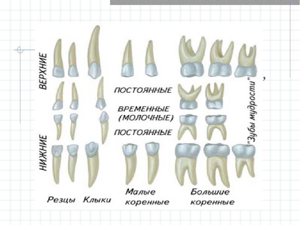 Чем обусловлены отличия между молочными и коренными зубами