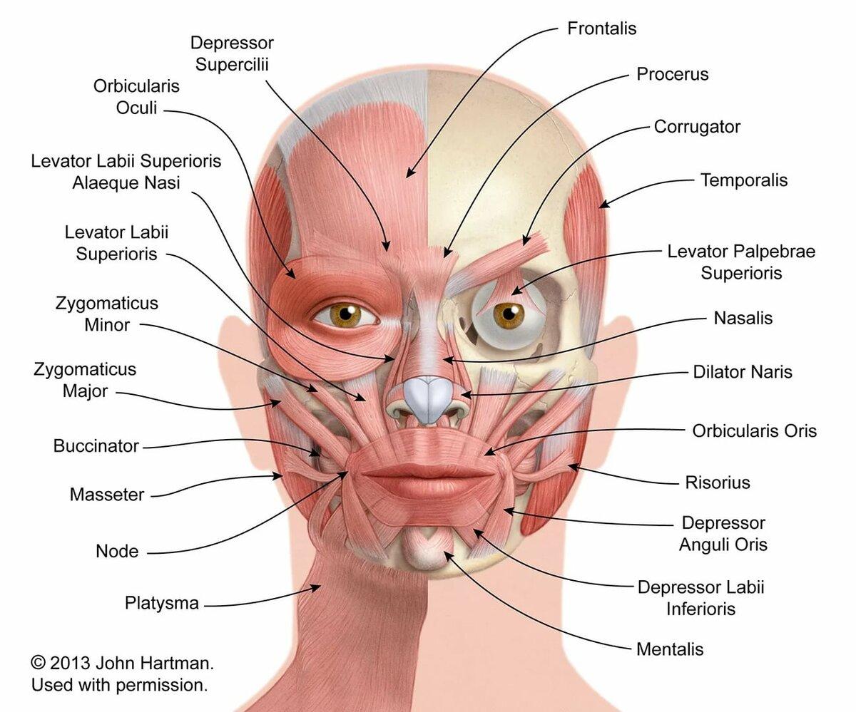 мышцы лица фото с описанием и схемами этой доли