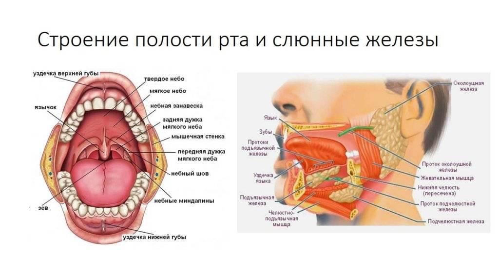 Изучаем строение человека: расположение внутренних органов