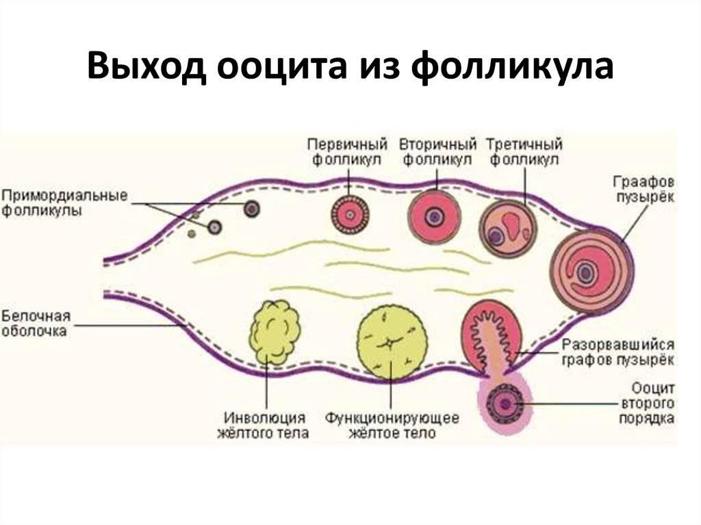 Главную роль в процессе зачатия играет яйцеклетка у женщин
