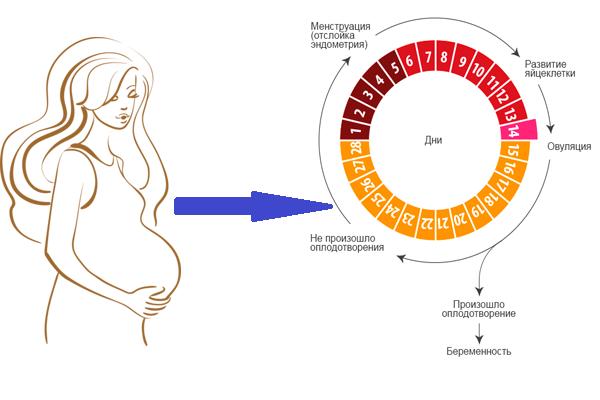 Доказанные факты о том, можно ли забеременеть во время месячных