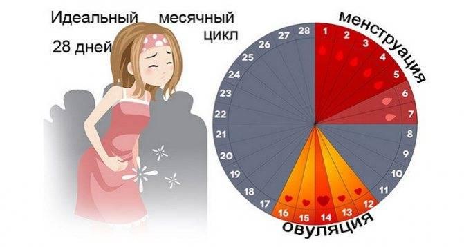 Овуляция при менструальном цикле в 28 дней
