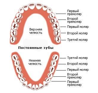Зубы моляры и премоляры кариес