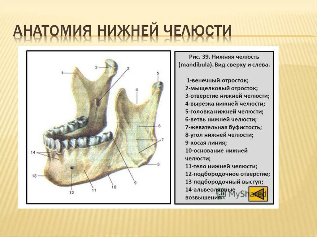 Анатомия верхней и нижней челюсти — особенности строения