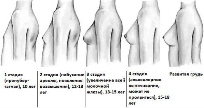 До скольки растёт грудь, сколько лет длится рост грудных желез
