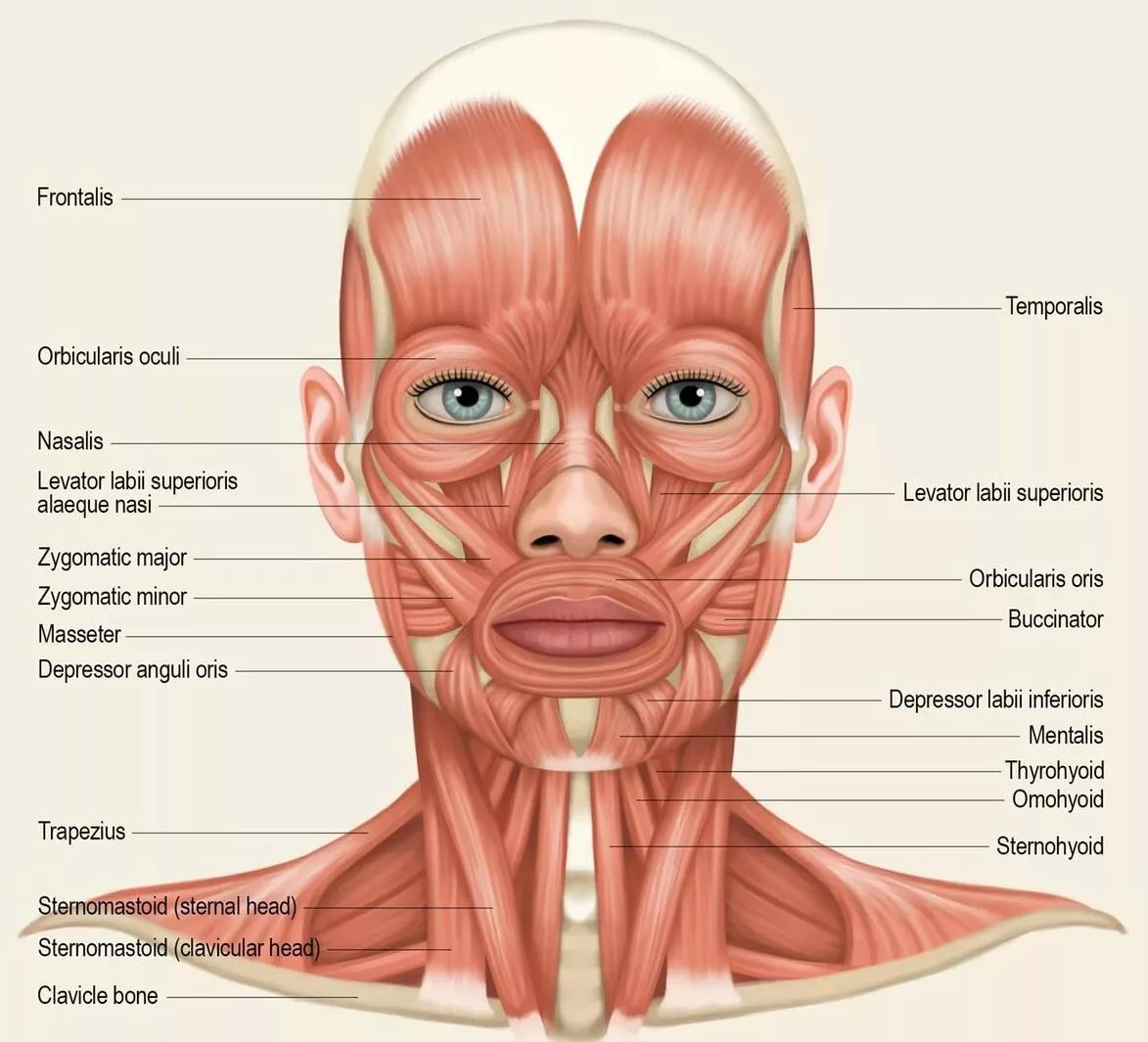 предназначен мышцы лица фото картинки быть только любимой