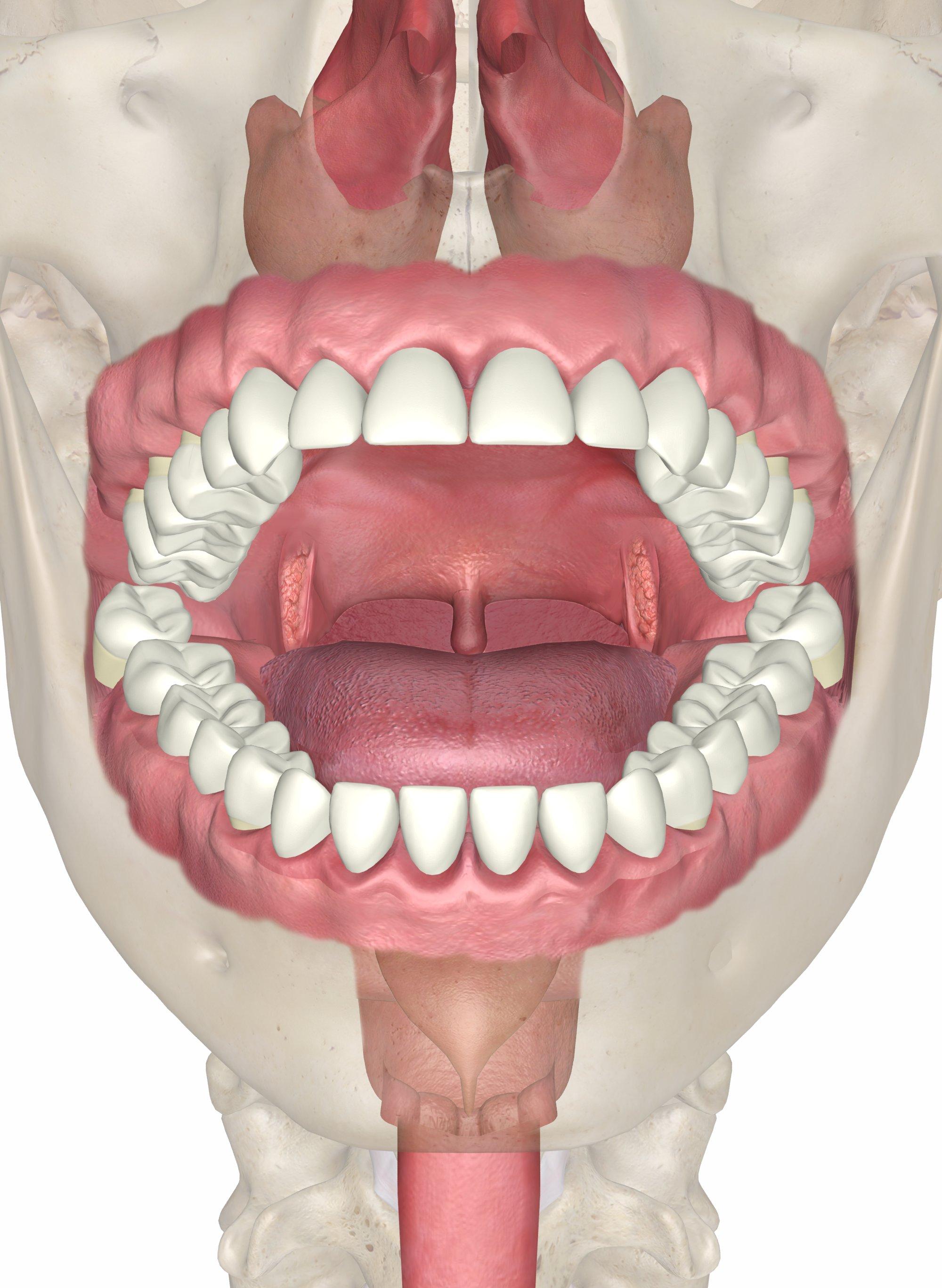 Что такое альвеолы зубов и где они находятся
