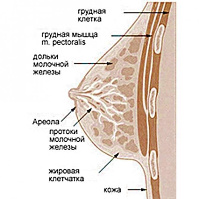 Внутреннее и внешнее строение молочной железы: норма и аномалии