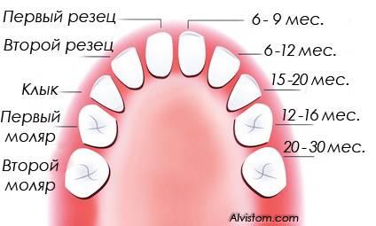 Премоляры, это какие зубы, где расположены и какие функции?