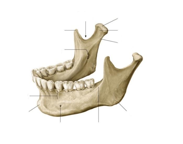 Правильное строение нижней челюсти фото