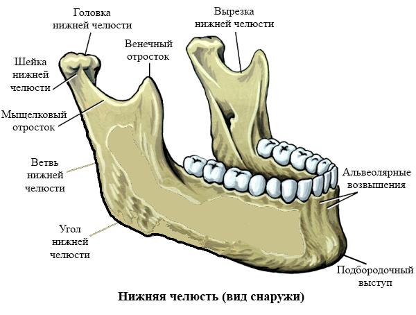 Строение нижней челюсти человека: анатомия и биомеханика
