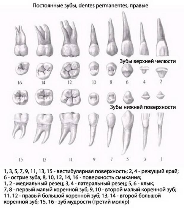 Как узнать какой зуб молочный или коренной