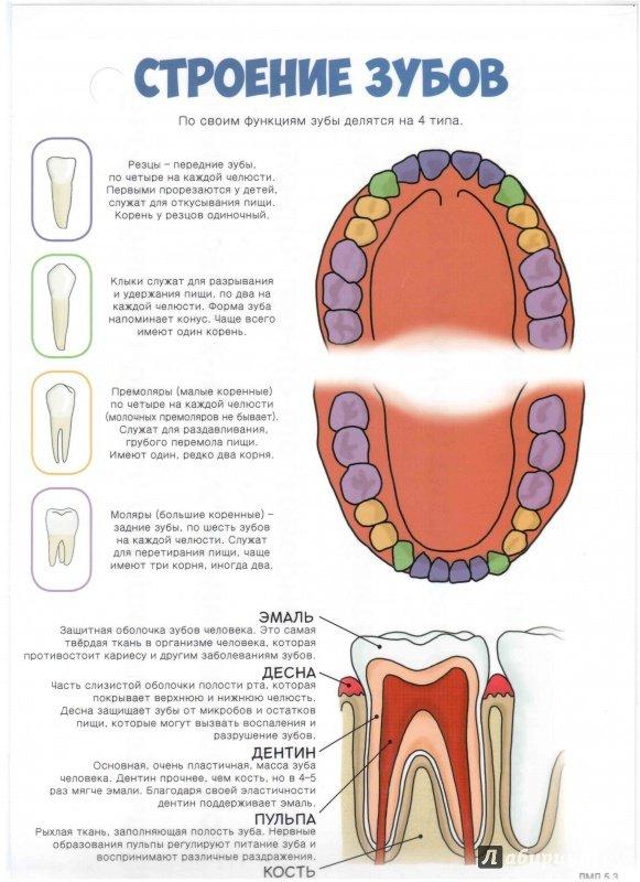 Строение и значение зубов человека. схема строения зуба