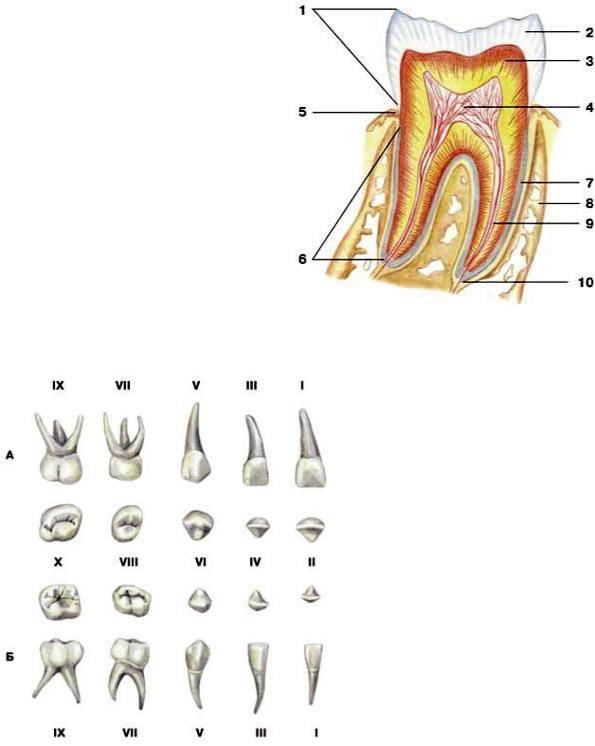 Как узнать, коренной зуб или молочный: фото, отличия от постоянных единиц у детей