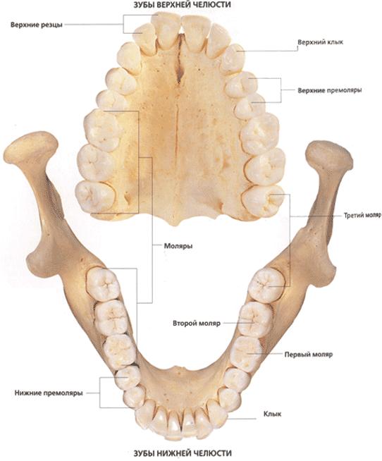Строение и анатомия нижней и верхней челюсти человека
