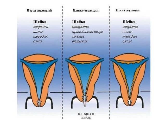 Короткая шейка матки при беременности: скрытая опасность