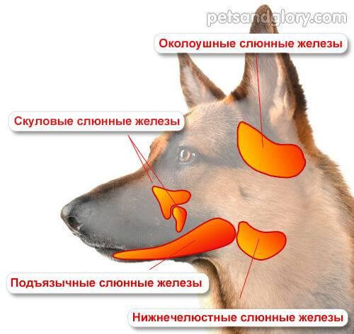 Почему у собаки изо рта идет белая или желтая пена: причины явления и лечение в домашних условиях