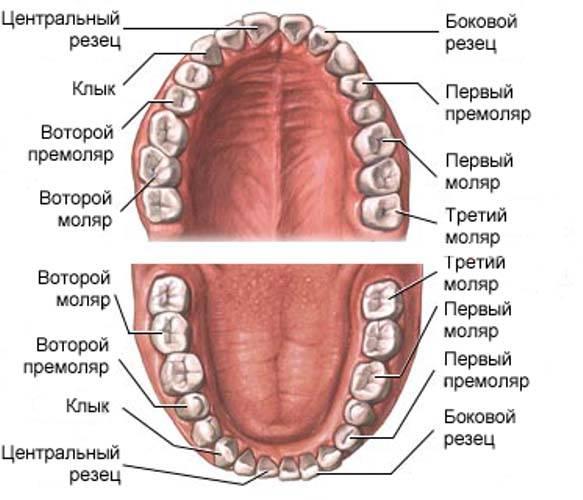 Строение и схема верхней челюсти человека: анатомия с фото и описанием базовых структур