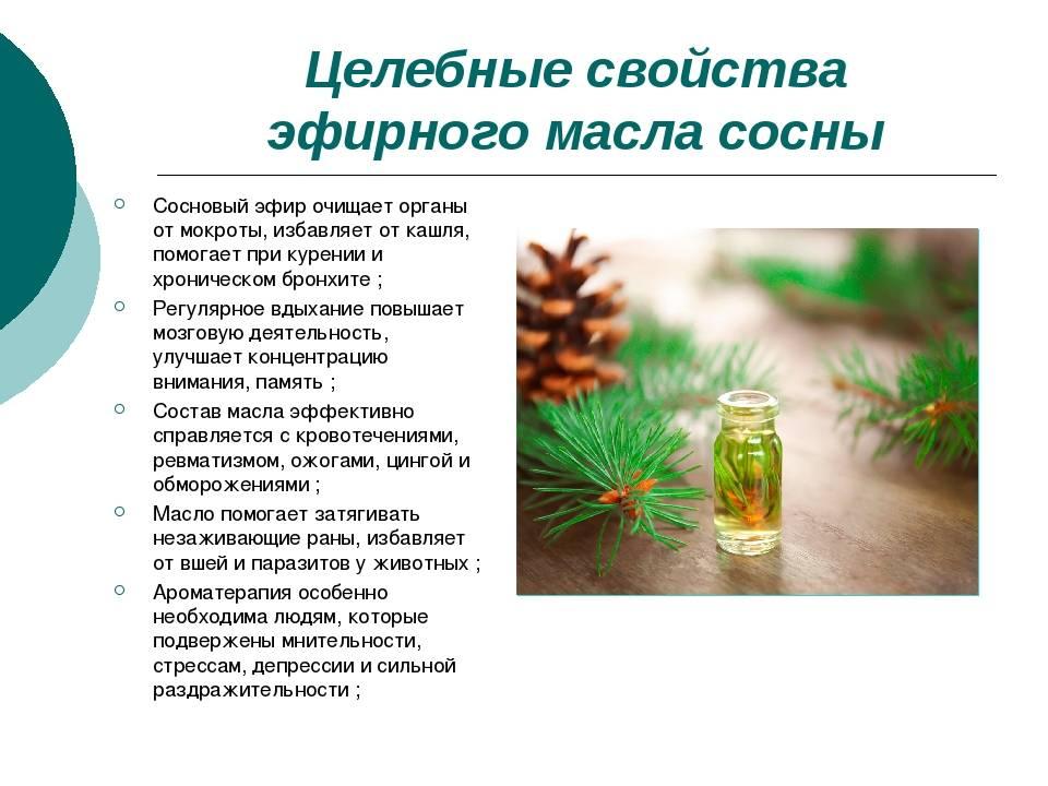 Лечебные свойства хвои и применение. сосна лечебная