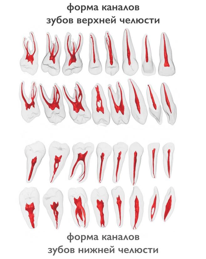Сколько каналов у зуба