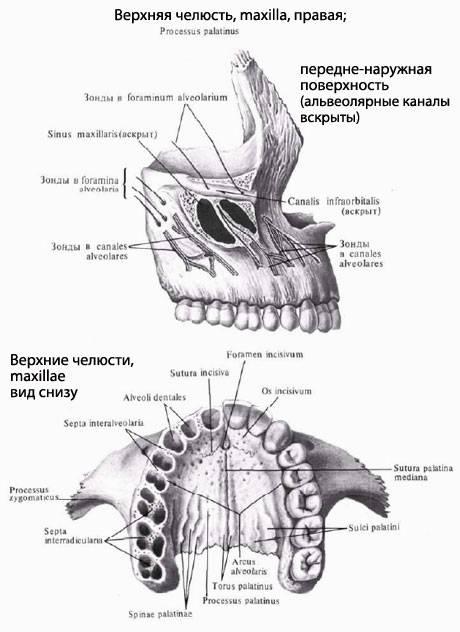 Верхняя челюсть строение и анатомия