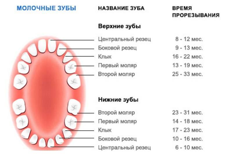 Выпадение молочных зубов: порядок и возраст начала выпадения зубов у детей