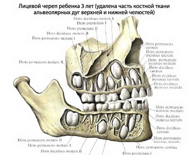 Строение зубов человека