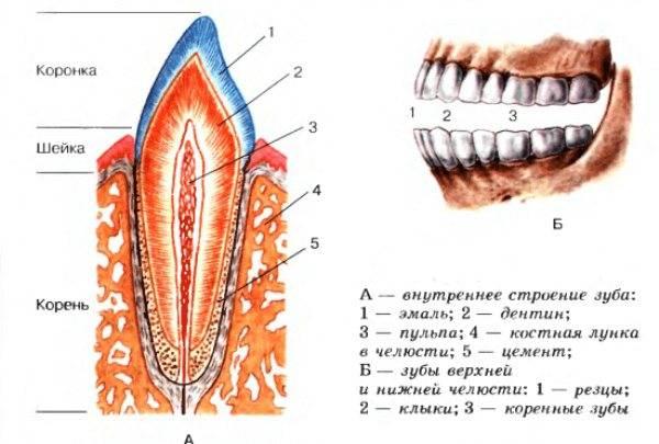 Нумерация зубов у взрослых и детей
