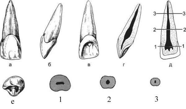 Сколько каналов и нервов в зубах человека, таблица