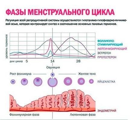 Особенности работы яичников у женщин: их расположение и функции