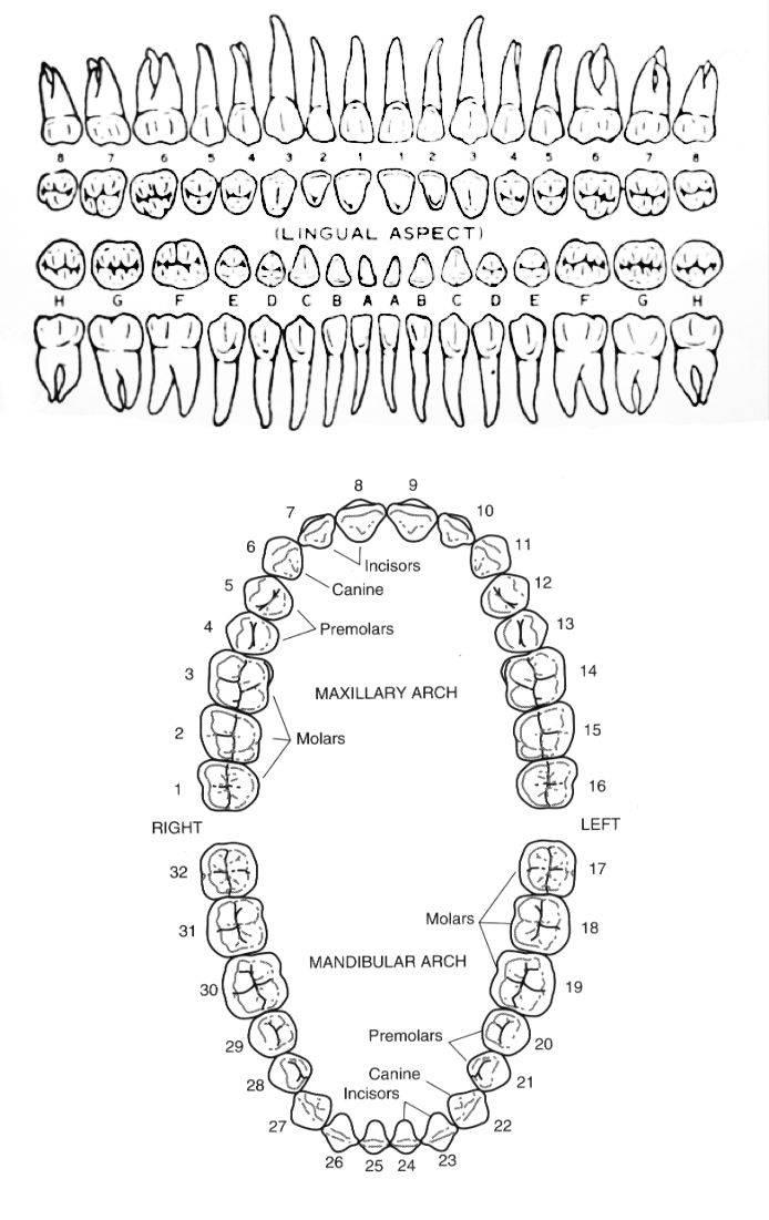 Нумерация зубов у детей в стоматологии схема