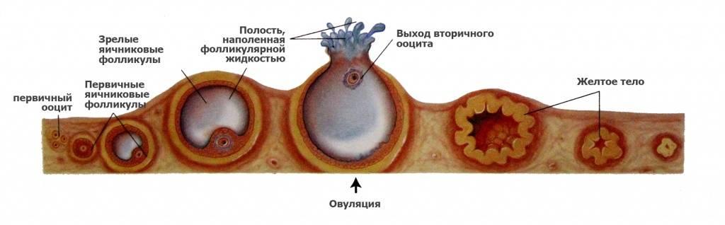 Сроки созревания яйцеклетки после менструации