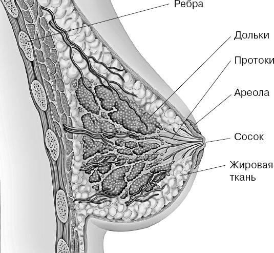 Молочная железа, ее строение и функции у женщин. анатомия молочной железы