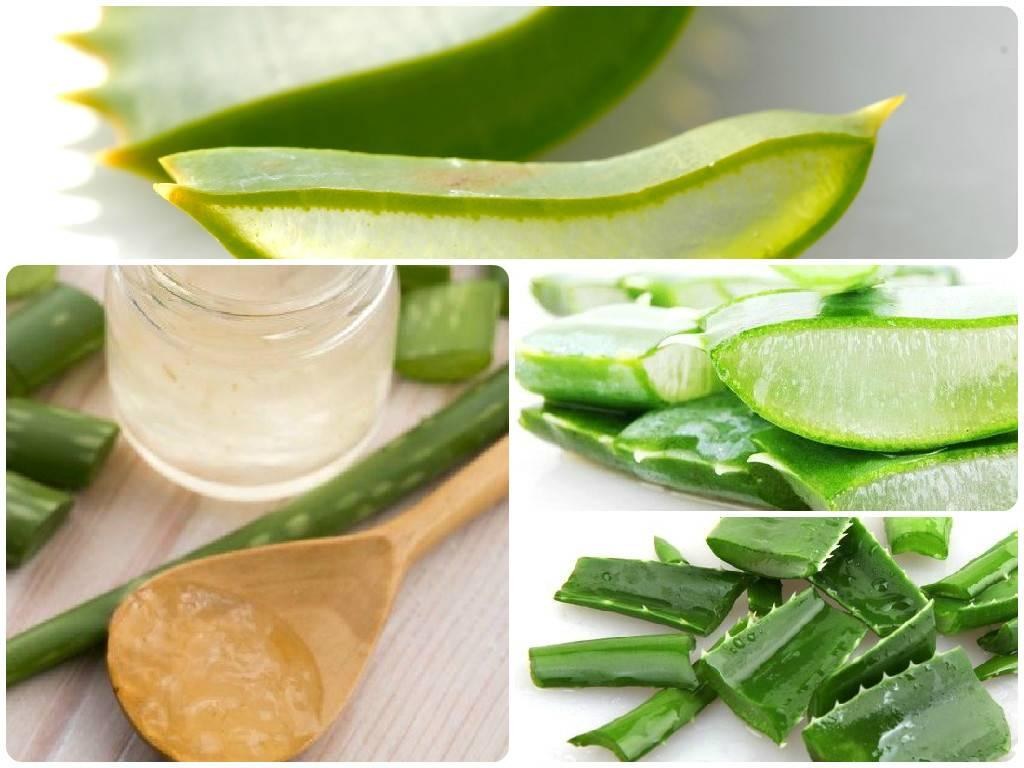 Алоэ — лечебные виды и эффективные рецепты применения