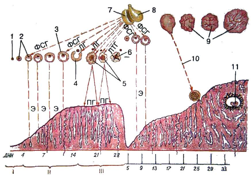 Циклические изменения в организме женщины (менструальный цикл) и процессы их регуляции