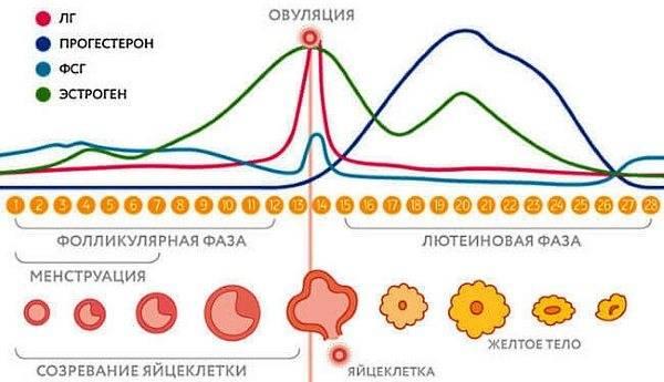 Как определить фазу менструального цикла у женщины?