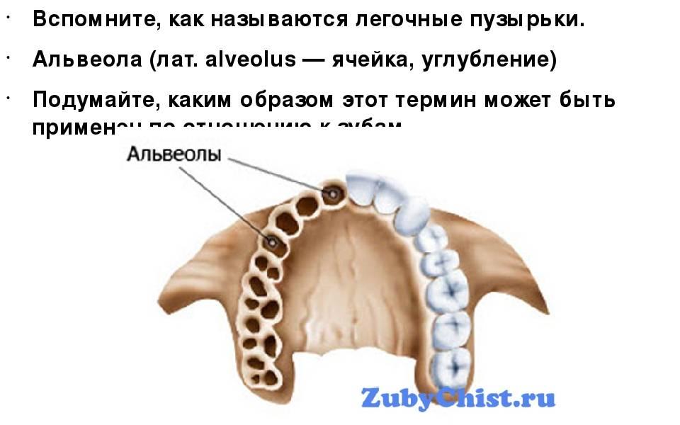 Что такое альвеолярный отросток верхней и нижней челюсти: его строение, назначение, случаи перелома