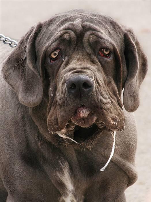 Почему у собаки на прогулке текут слюни. почему у собаки текут слюни? распростаненные причины и их лечение