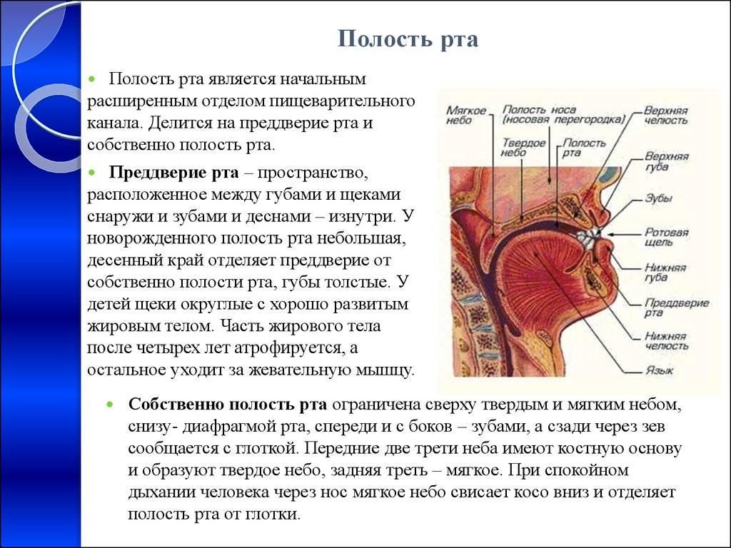 Об анатомии ротовой полости человека
