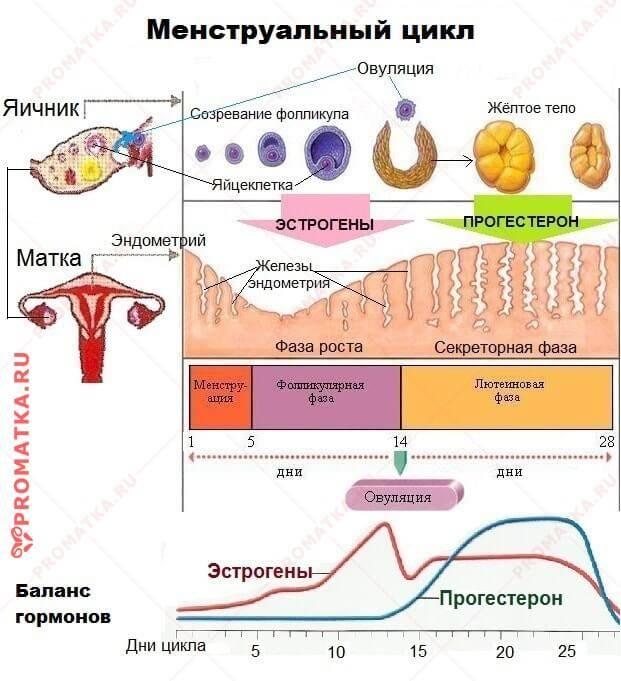 Менструальный цикл.