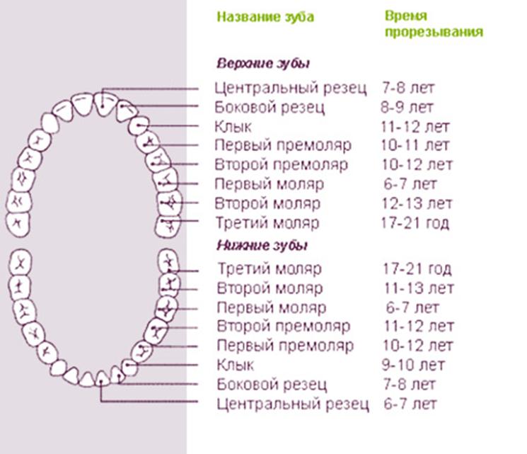 Количество корней и каналов в зубах человека