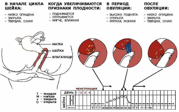 Короткая шейка матки при беременности: особенности, диагностика, лечение