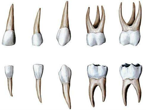 Как быстро отличить молочный зуб от коренного