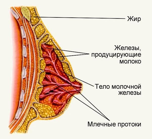 Ткани молочных желез: типы строения, виды и изменения