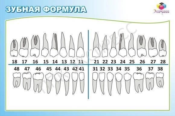 Схема расположения зубов у человека по номерам