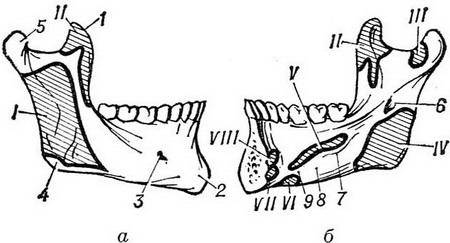 Все о верхней челюсти человека: анатомия и строение с фото и описанием, отличие от нижней, функции