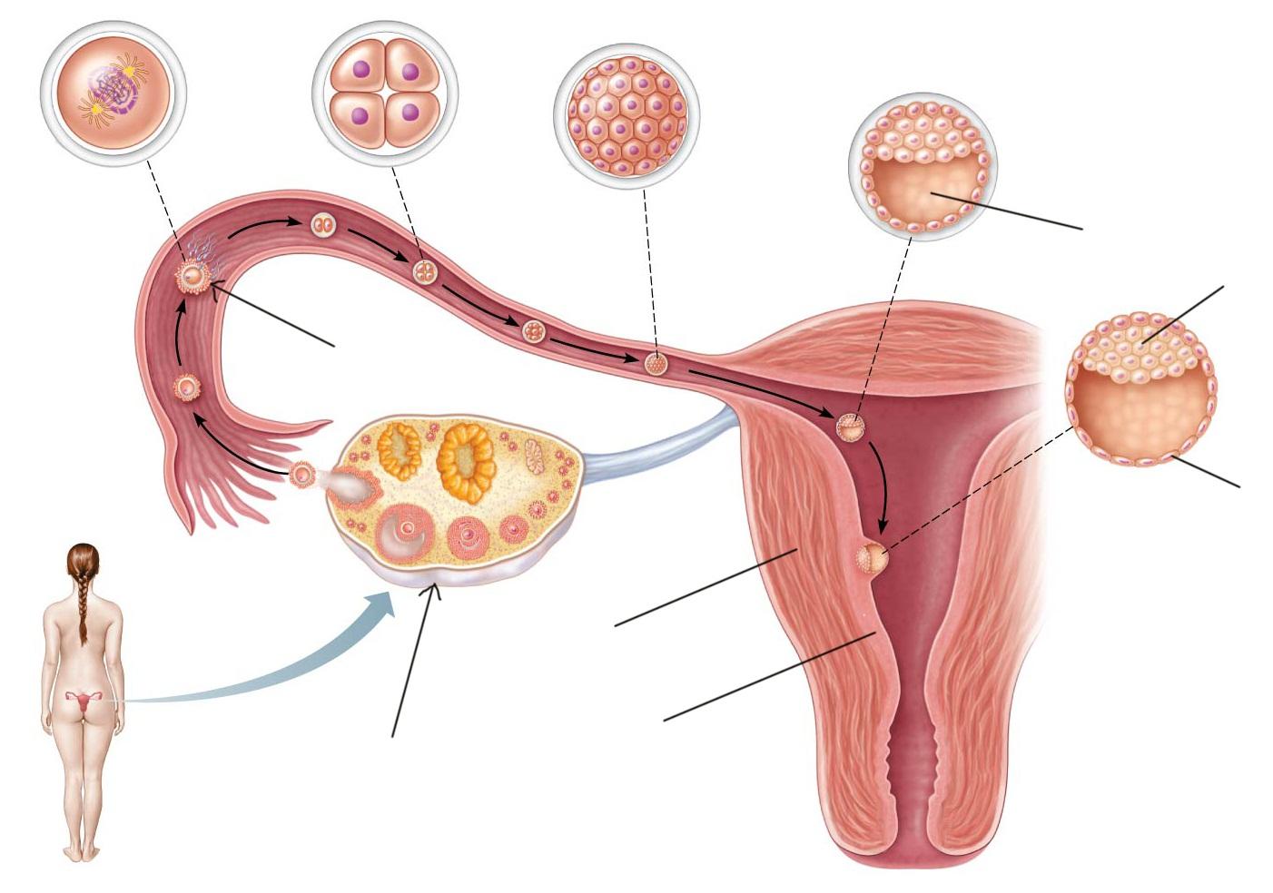 Как узнать – сколько яйцеклеток у женщины