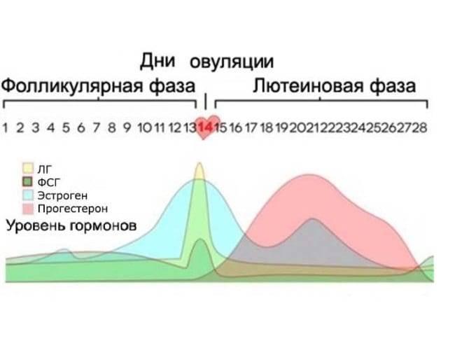 Как рассчитать фолликулярную фазу и определить овуляцию