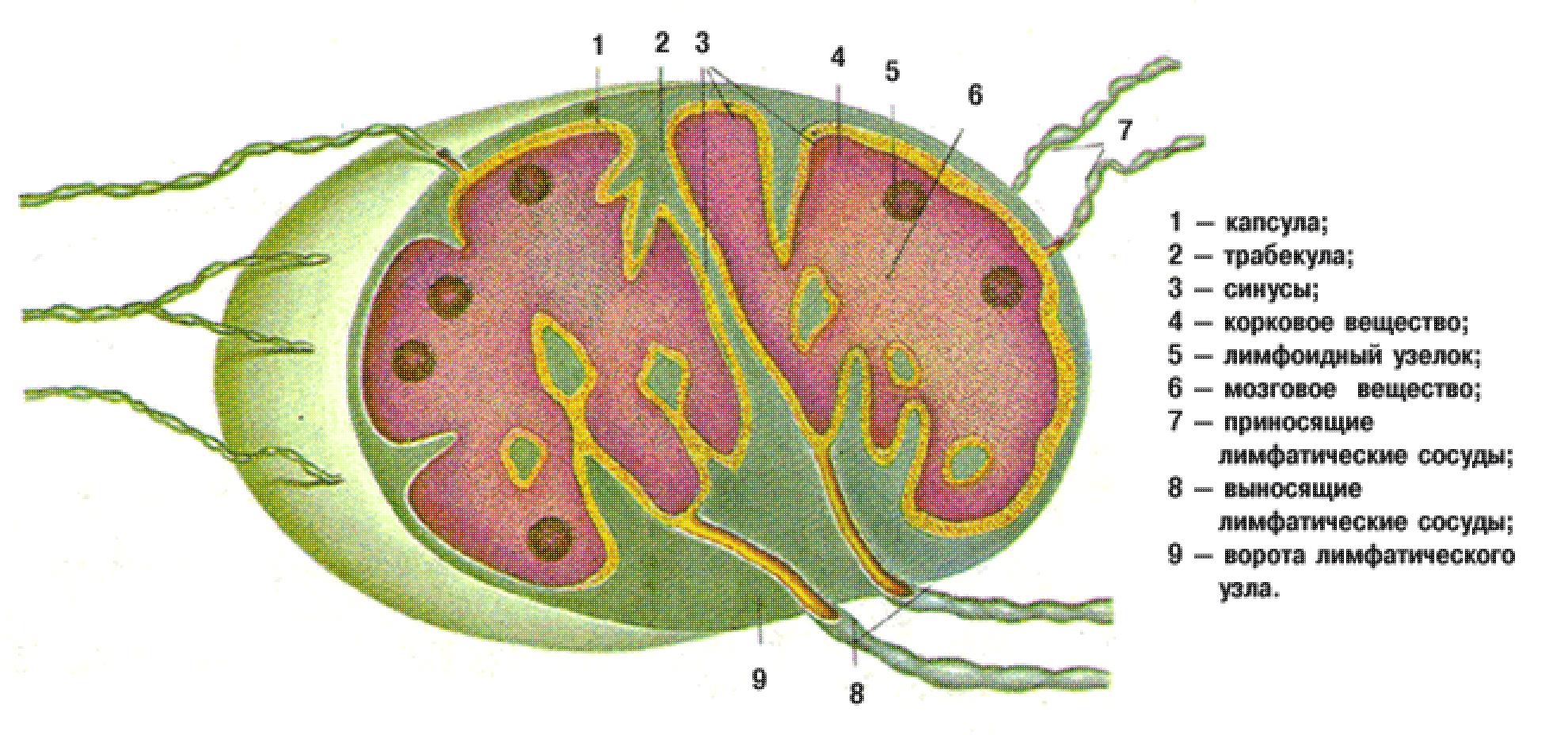 Аксиллярная область это. аксиллярная впадина что такое аксиллярная лимфаденопатия